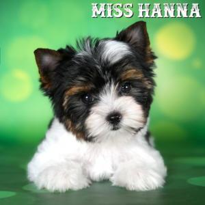 Mini Biewer Terrier Girl
