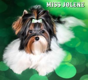Mini Biewer Girl Mis Jolene