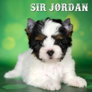 Biewer Terrier Puppy Jordan