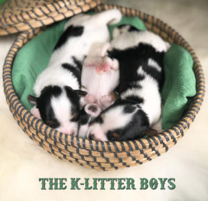 Biewer Terrier Puppies K-Litter Boys