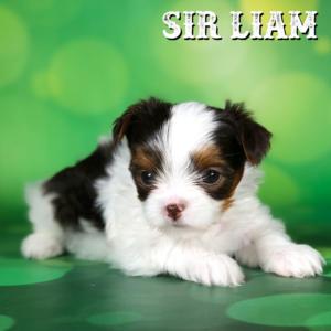 Biewer Terrier Puppy Sir Liam