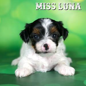 Biewer Terrier Puppy Miss Luna