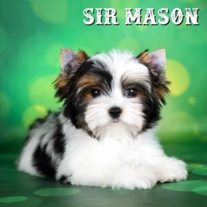 Sir Mason Biewer Terrier Puppy