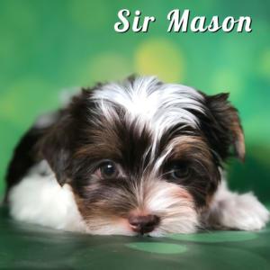 Chocolate Biewer Puppy Sir Mason