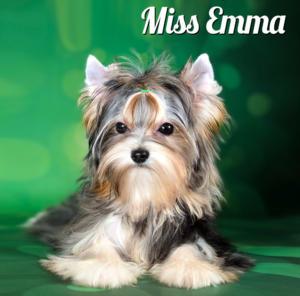 Mini Merle Yorkshire Terrier Girl Miss Emma
