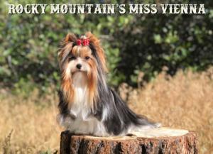 Biewer Terrier Miss-Vienna-JUne-2