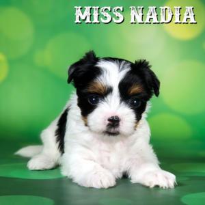 Biewer Terrier Puppy Miss Nadia
