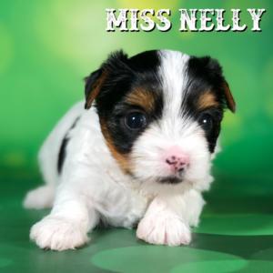 Biewer Terrier Puppy Miss Nelly