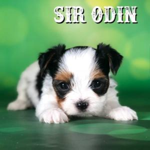 Biewer Puppy Sir Odin