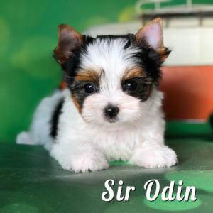 Rocky Mountain Biewer Puppy Odin