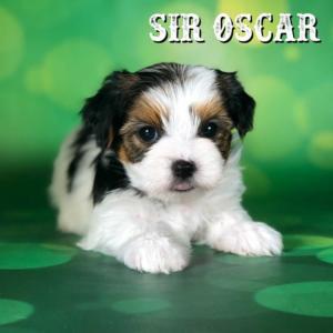 Biewer Puppy Sir Oscar