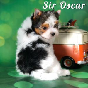 Rocky Mountain Biewer Puppy Oscar