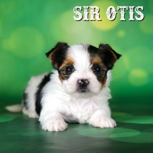 Biewer Puppy Sir Otis