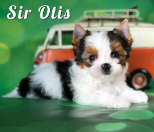 Rocky Mountain Biewer Puppy Otis