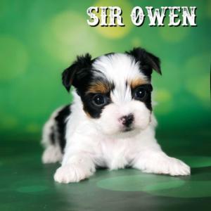 Biewer Puppy Owen