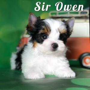 Rocky Mountain Biewer Puppy Owen