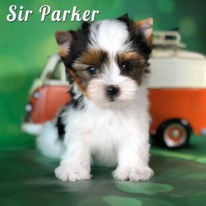 Biewer Terrier Puppy Parker