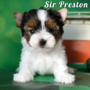 Biewer Terrier Puppy Preston
