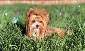 Mini Russian Salon Dog Girl Miss Hollie