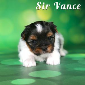Biewer Puppy Sir Vance