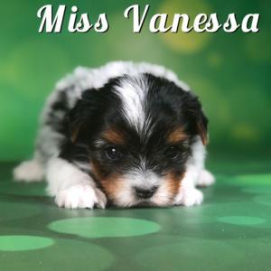 Biewer Puppy Miss Vanessa