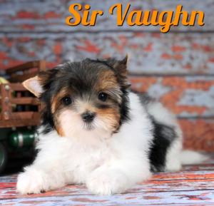 Biewer Puppy Sir Vaughn