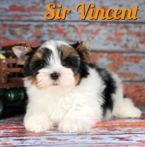 Biewer Puppy Sir Vincent