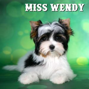 Miss Willow Biewer Terrier Puppy Girl