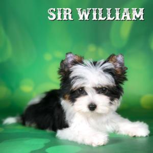 Mini Biewer Boy Puppy Sir William
