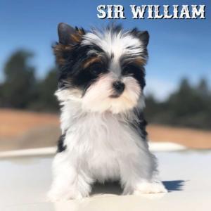William-Biewer-Puppy1