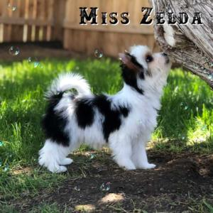 Miss Zelda Biewer Terrier