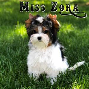 Biewer Terrier Miss Zoe