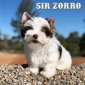 Biewer Terrier  Zorro-3