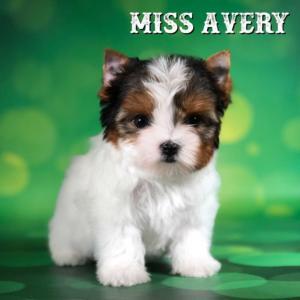 Rocky Mountain Biewer Terrier Puppy Girl Miss Avery