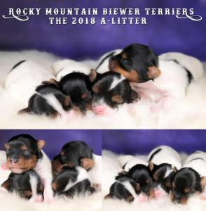 Rocky Mountain Biewer Terrier 2018-A-Litter