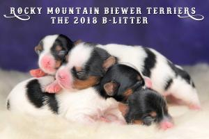 Rocky Mountain Biewer Terrier 2018-B-Litter