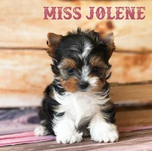 Biewer-Jolene-6-weeks-2