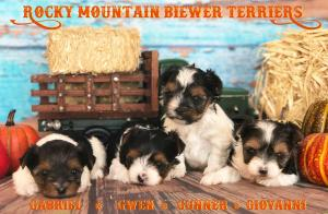 Rocky Mountain Biewer Terriers