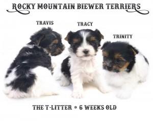 T-Litter-6-weeks-1